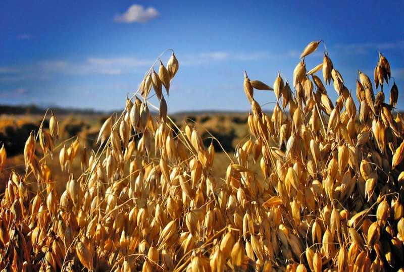 В Кузбассе взращивают собственные сорта пшеницы и овса